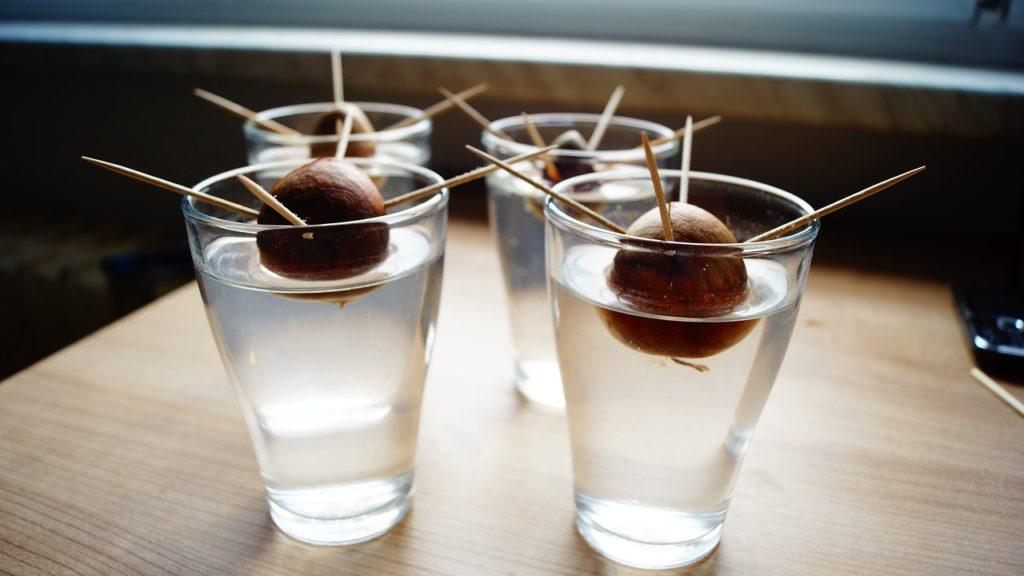 Klíčení avokádové pecky ve vodě - první kroky při pěstování avokáda
