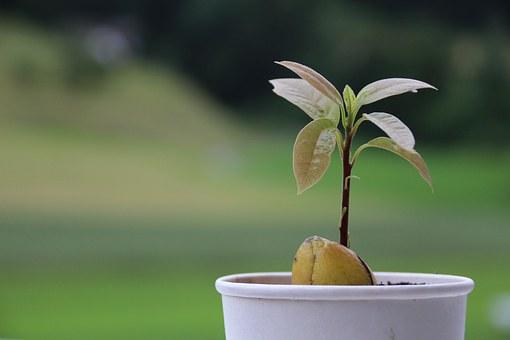 Pěstování avokáda z pecky - avokádová pecka se stonkem zasazená v květináči