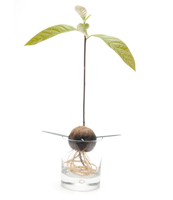 Pěstování avokáda z pecky ve vodě