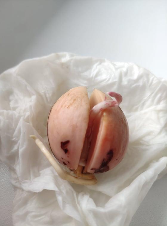 Naklíčená avokádová pecka
